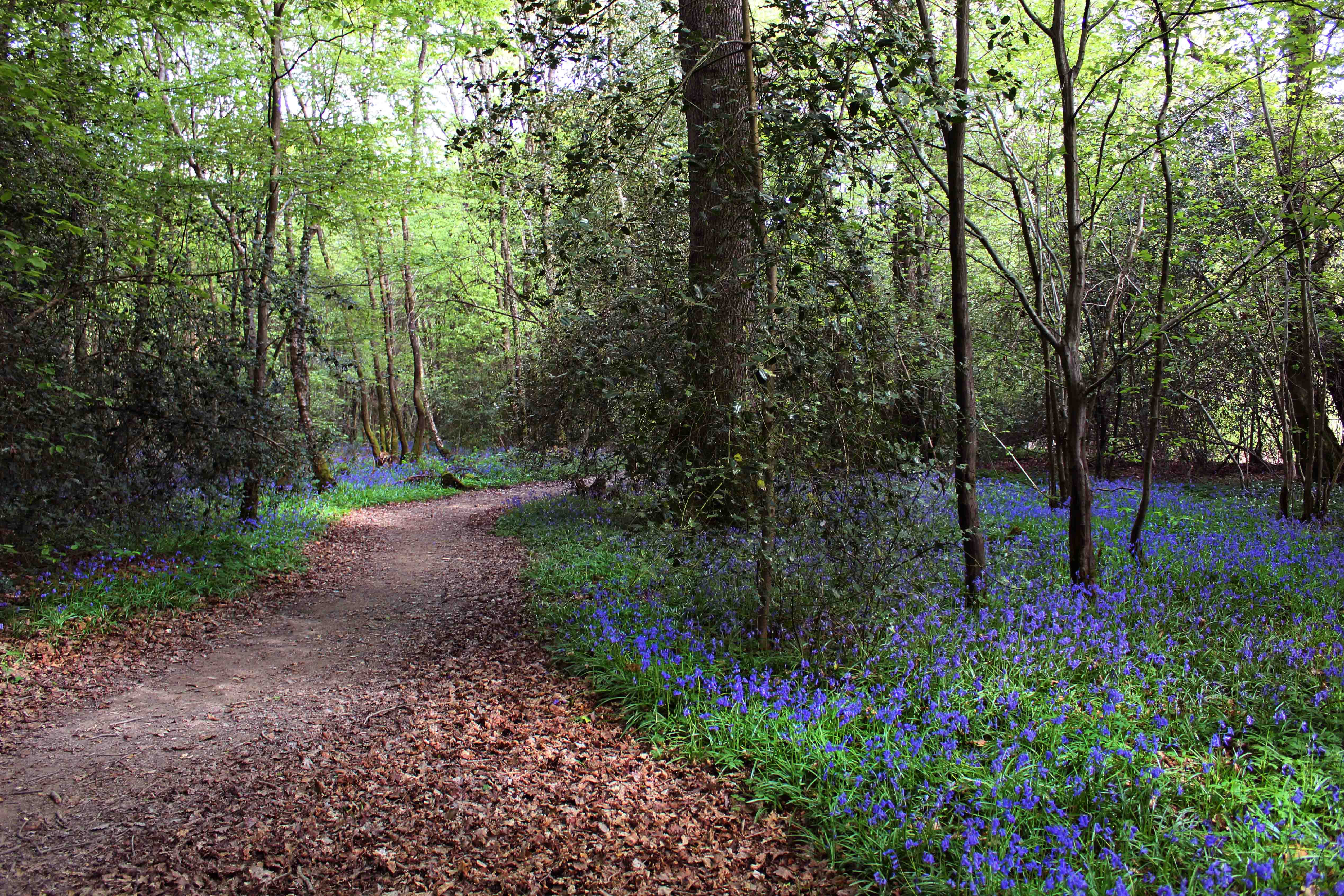 Photograph of bluebells in the wood in Bedelands Farm