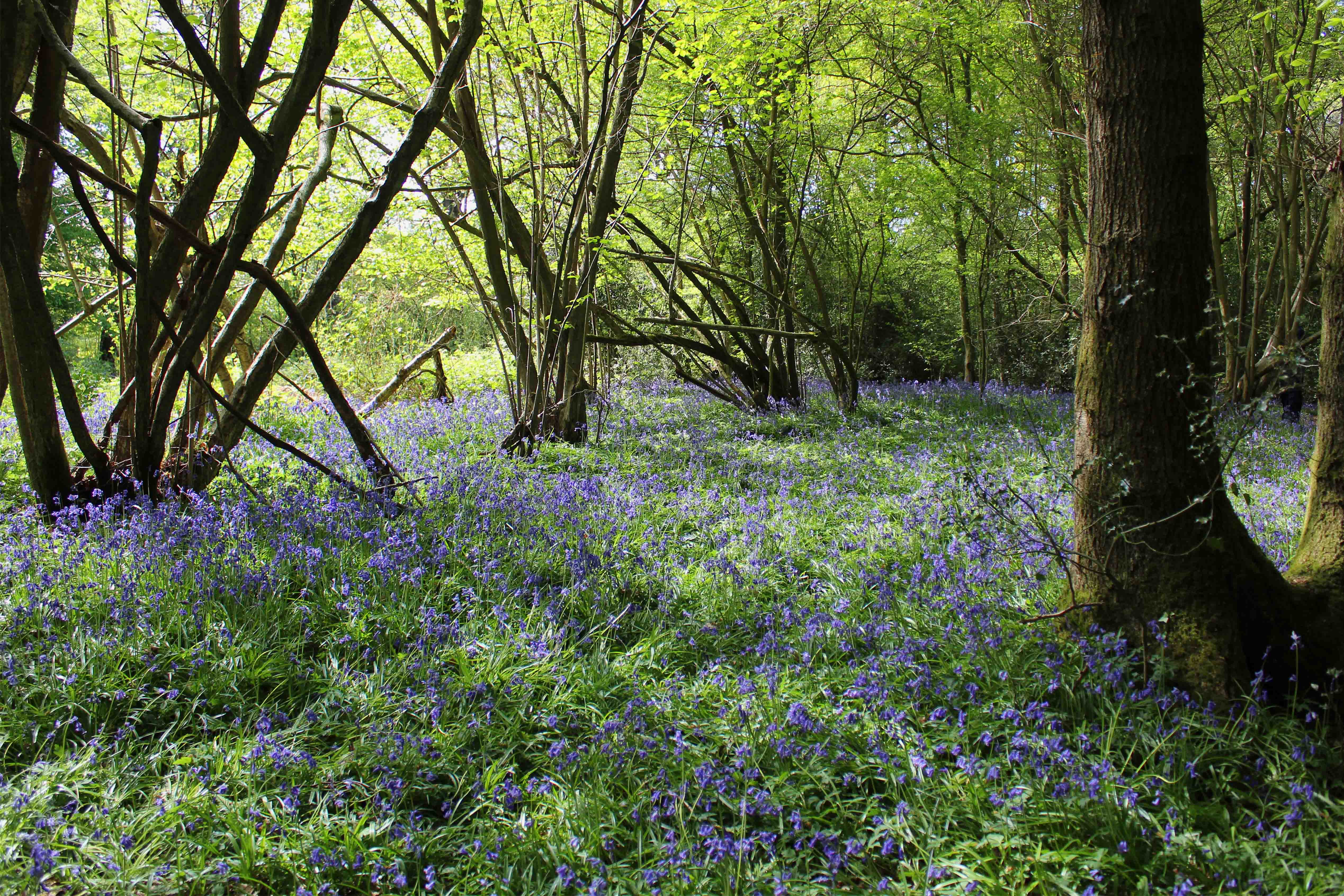 Photograph of bluebells in the woods in Bedelands Farm